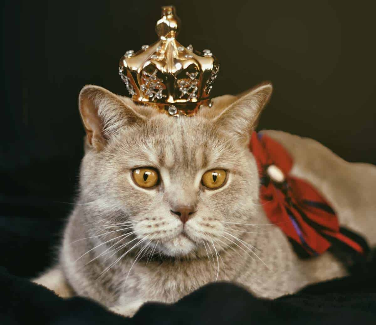 british crowned cat